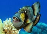 The Titan triggerfish